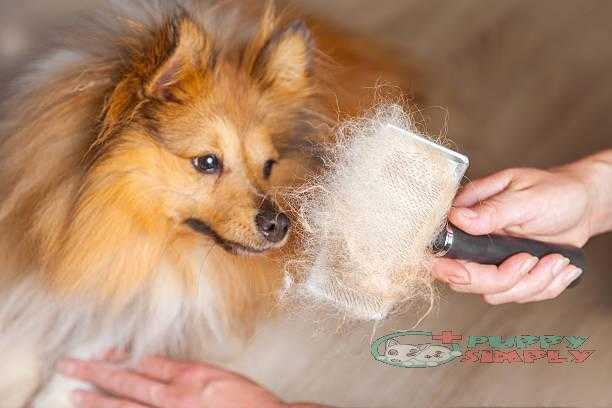 grooming with a dog brush on a shetland sheepdog best brushes for shedding dogs