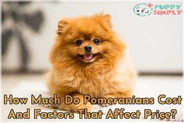 How Much Do Pomeranians Cost And Factors That Affect Price