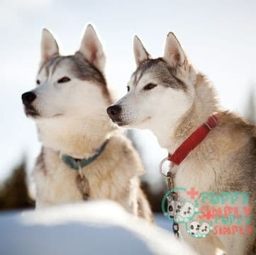 Siberian Husky Price: How Much is a Husky? (Facts & Factors)